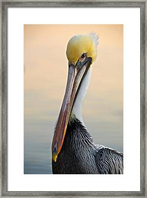 Brown Pelican Portrait Framed Print by Georgia Nick