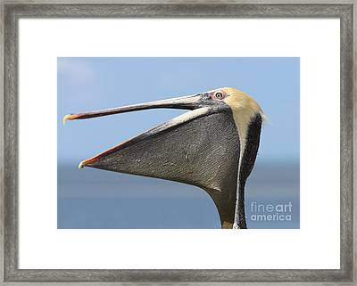 Brown Pelican Pouch Framed Print
