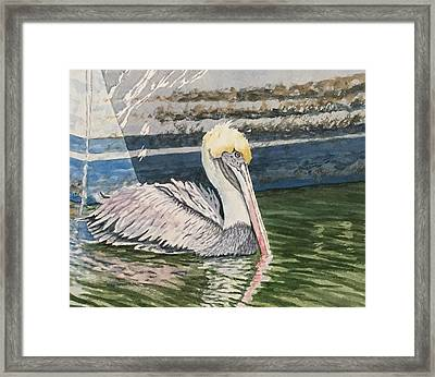 Brown Pelican Swimming Framed Print by Don Bosley