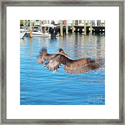 Brown Pelican Taking Flight Framed Print by Megan Dirsa-DuBois