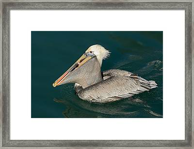 Framed Print featuring the photograph Brown Pelican With A Mouth Full by Bradford Martin