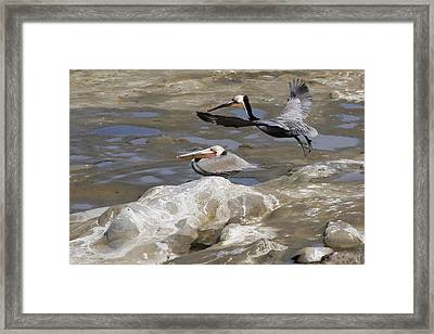 Brown Pelicans At La Jolla Cove Framed Print by Jan Cipolla