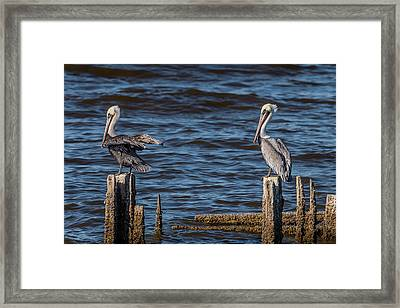 Brown Pelicans Perched Framed Print