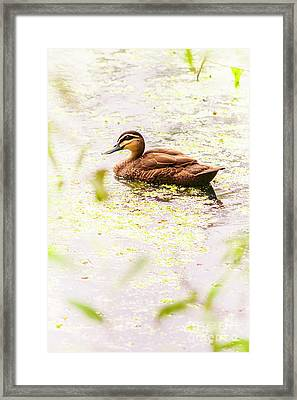 Brown Pond Duck Framed Print by Jorgo Photography - Wall Art Gallery