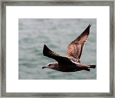 Brown Sea Gull Offshore Framed Print by Bill Perry
