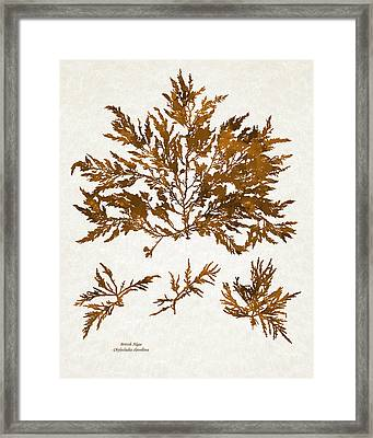 Brown Seaweed Marine Art Chylocladia Clavellosa Framed Print by Christina Rollo