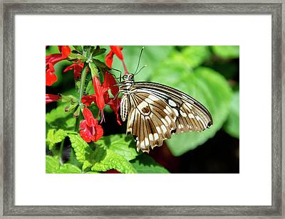 Brown Swallowtail Butterfly Framed Print