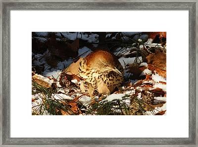 Brown Thrasher Closeup Framed Print
