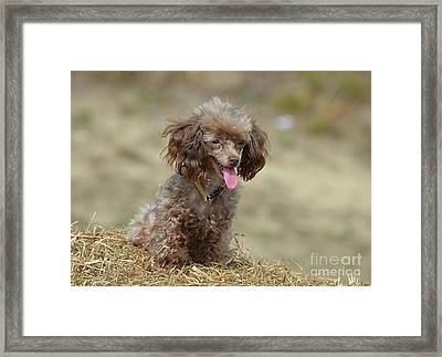 Brown Toy Poodle On Bail Of Hay Framed Print