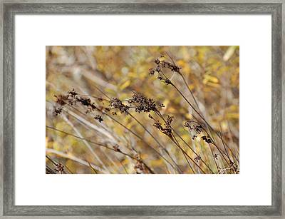 Brown Wildgrass Framed Print by Jean Booth