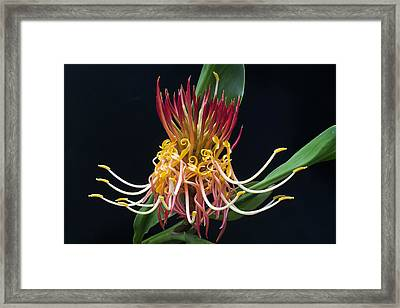 Brownea Macrophylla Tropical Flower Framed Print