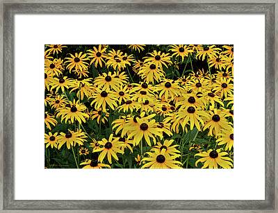 Browneyed Susans Framed Print by Mikki Cucuzzo