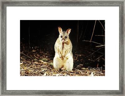 Brush-tailed Possum Framed Print