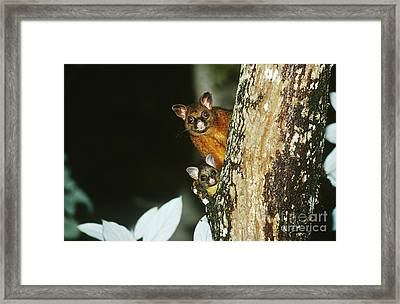 Brush-tailed Possum With Young Framed Print