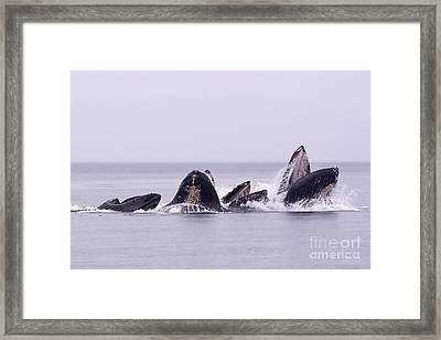 Bubble Feeding Humpbacks Framed Print by Darcy Michaelchuk