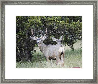 Buck And A Half Framed Print by Jon Rossiter