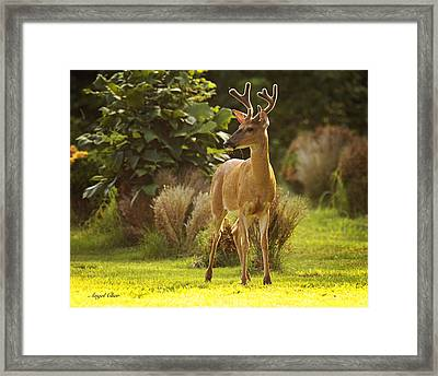 Framed Print featuring the photograph Buck by Angel Cher