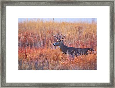 Buck Deer In Morning Sunlight Framed Print