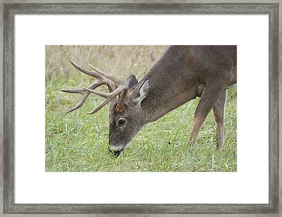 Buck Grazing Framed Print by Tina B Hamilton