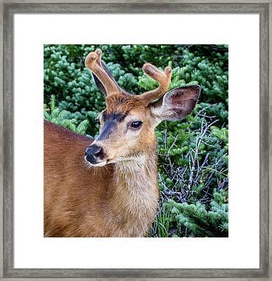 Buck In Velvet Framed Print