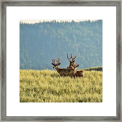 Buck Mule Deer In Velvet Framed Print