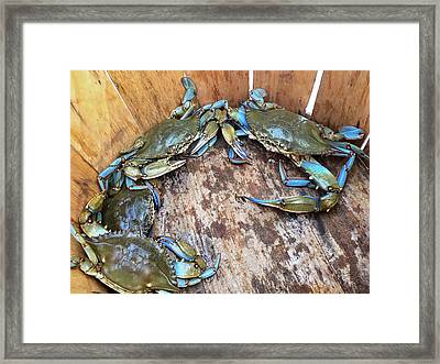 Framed Print featuring the photograph Bucket Of Blue Crabs by Jennifer Casey