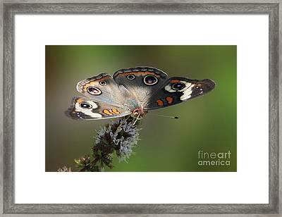 Buckeye Beauty Framed Print by Anita Oakley