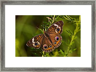 Buckeye Butterfly Framed Print by Michael Whitaker