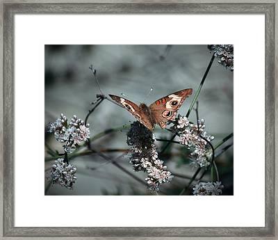 Buckeye On Buckwheat Framed Print by Christian Alvez