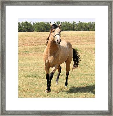 Buckskin Stallion From Front Framed Print
