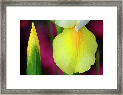 Bud And Yellow Fall Of Dutch Iris With Purple Flowers In Backgro Framed Print by Reimar Gaertner