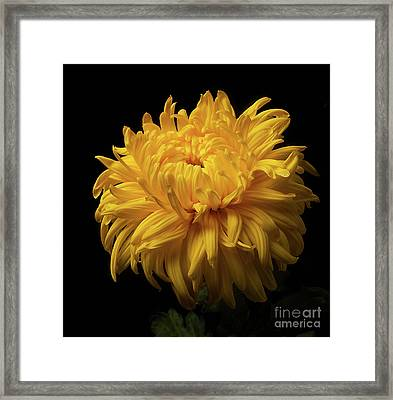 Bud Opening-chrysanthemum 'allison Peace Framed Print