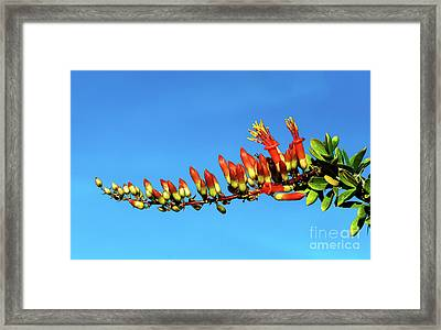 Framed Print featuring the photograph Budding Ocotillo by Robert Bales