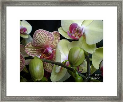 Budding Orchids  Framed Print