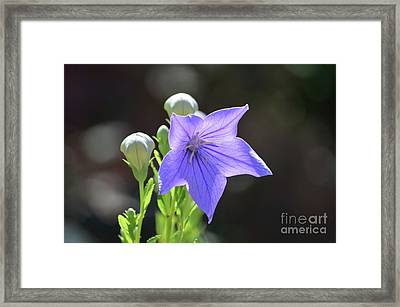 Budding Purple Balloon Flower In A Garden Flowering Framed Print