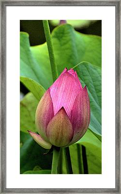 Budding Framed Print