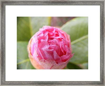 Budding Rhododendron Framed Print by Zen WildKitty