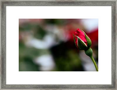 Budding Rose Framed Print