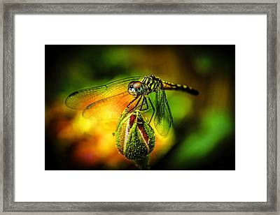 Budding Visitor Framed Print by Olahs Photography