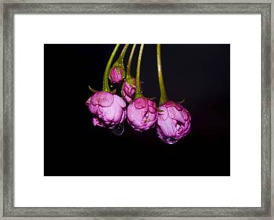 Buds Framed Print by Svetlana Sewell
