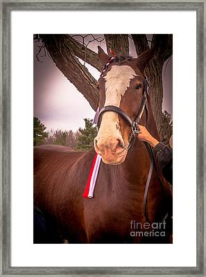 Budweiser Clydesdales Framed Print by Claudia M Photography