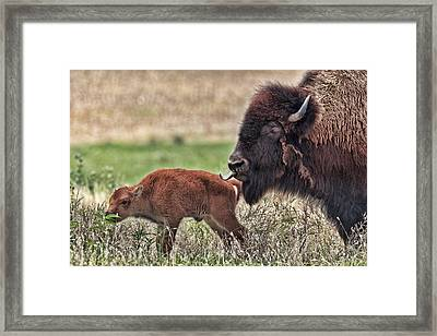 Buffalo And Calf Framed Print