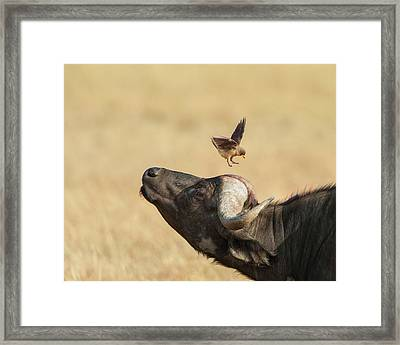 Framed Print featuring the photograph Buffalo And Oxpecker Bird by Phyllis Peterson