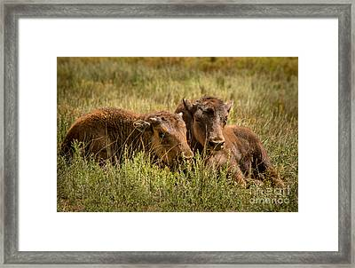 Framed Print featuring the photograph Buffalo Babes by The Forests Edge Photography - Diane Sandoval