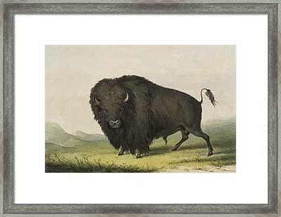 Buffalo Bull Grazing 1845 Framed Print