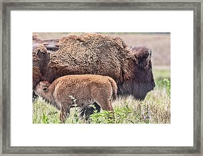 Buffalo Calf And Proud Mom Framed Print
