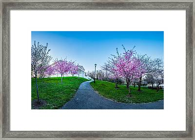 Buffalo Cherry Blossoms 1 Framed Print