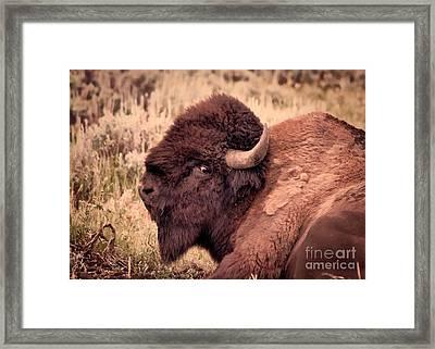 Framed Print featuring the photograph Buffalo Eye On You by Janice Rae Pariza