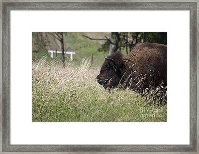 Framed Print featuring the photograph Buffalo Gal 20120724_378a by Tina Hopkins