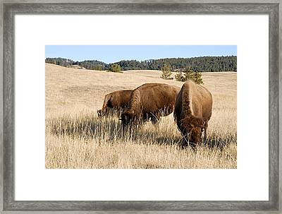 Buffalo Gals Framed Print